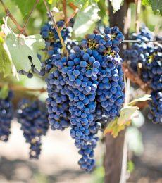 US Grapes
